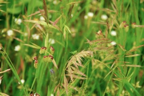 Grasshopper nymph, Campo di Pere