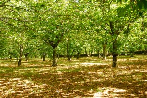 Chestnut grove, Roccamonfina
